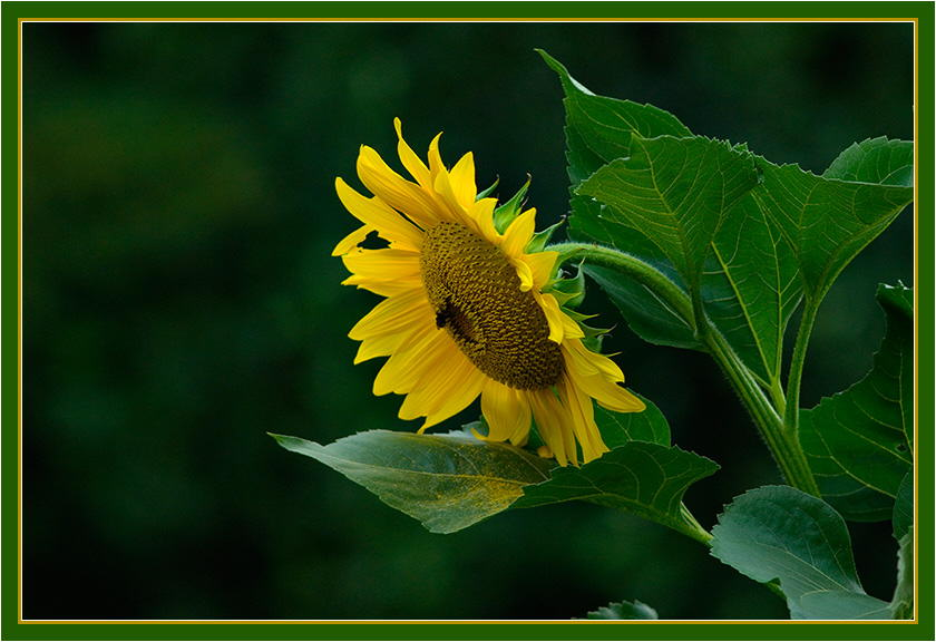 sunflower_in_late_light